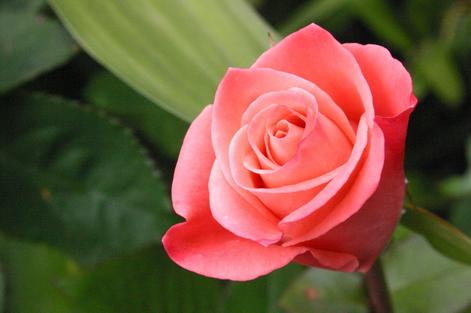 La rosa nella tavola di Maggio di Matilde Vicenzi